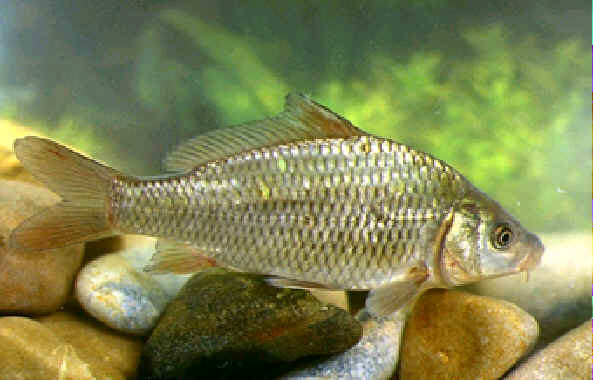 Carpa informaci n fon fishing for Carpa europea