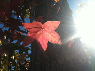 Liquit Amber Leaf in Sunlight, Photo (c) 2012 by Maja Trochimczyk
