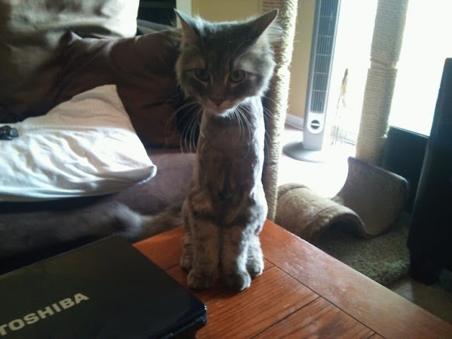 shaved cat, funny cat pictures, funny cats