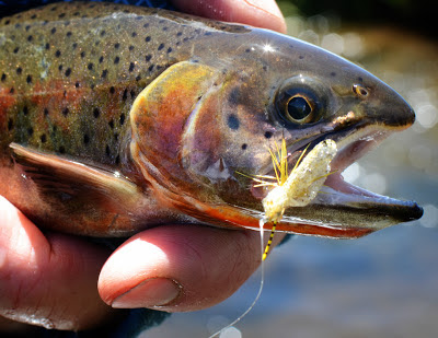 yellow sally stonefly cutthroat trout dry fly
