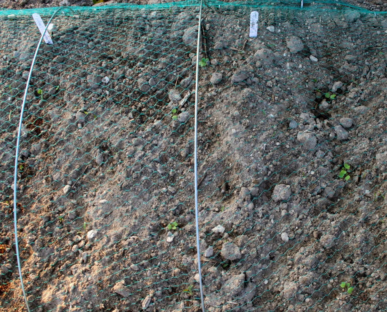 White Radish and Turnip seedlings