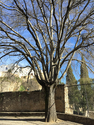 A hackberry trree in Ronda