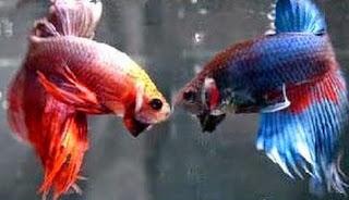 Gambar ikan Cupang Pelaga Aduan