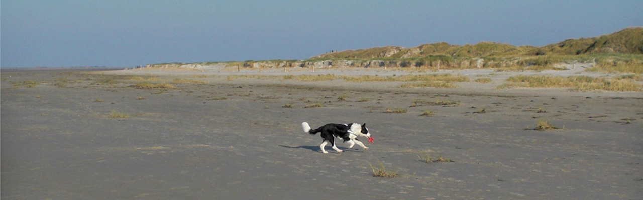 Bordercollie Merlin am Strand von St. Peter-Ording