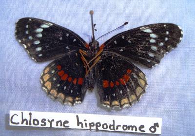 Chlosyne hippodrome Nicaragua