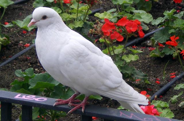 No, no es Walter, ni tampoco Junior; es una bonita paloma blanca ...
