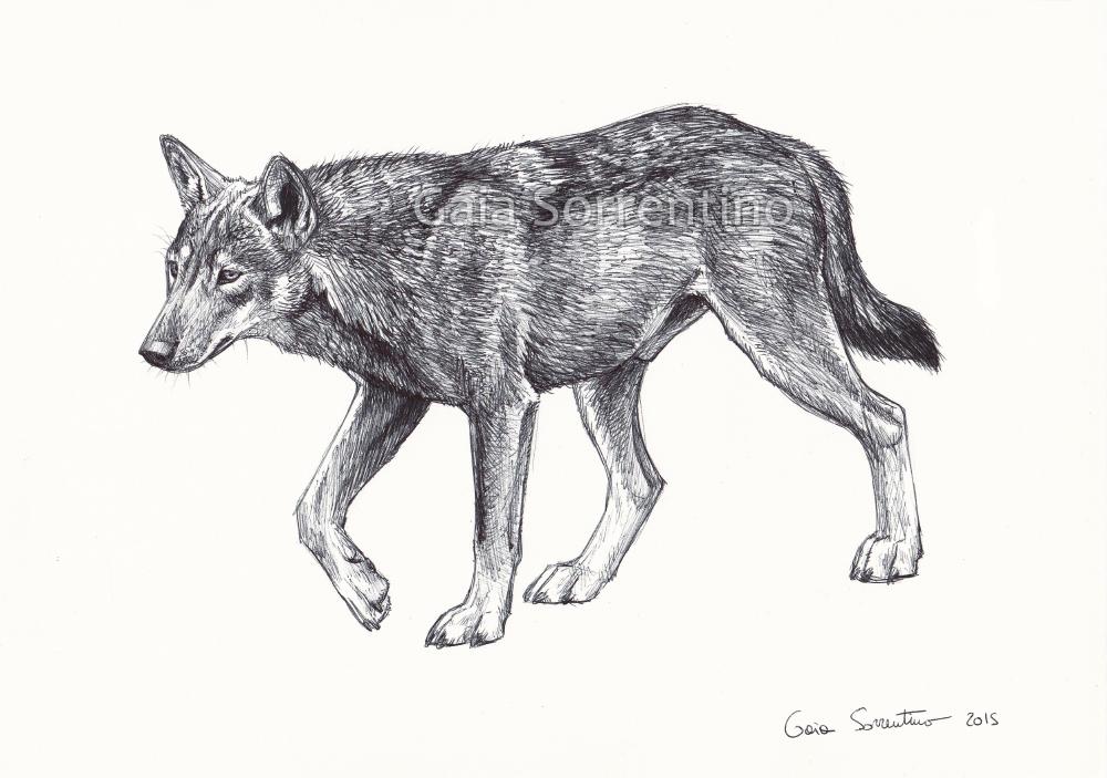 Gaia sorrentino disegnatrice naturalista novembre 2015 for Disegni di lupi facili