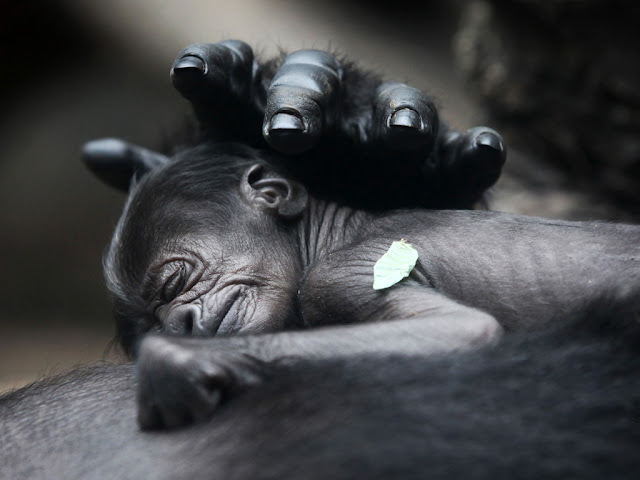 A new born gorilla sleeps on it's mother chest, baby gorilla, gorilla picture