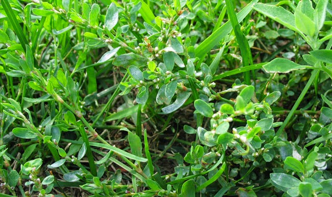 Knotweed (Polygonum aviculare) Overview, Health Benefits, Side effects