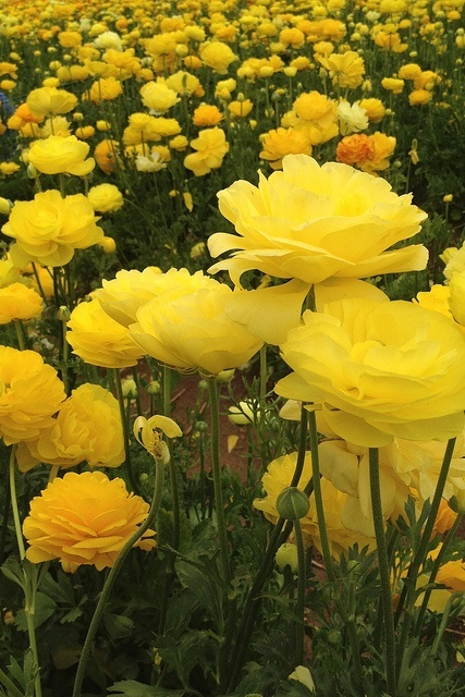 Adorable beautiful Garden of Beautiful Ranunculus or buttercup flowers