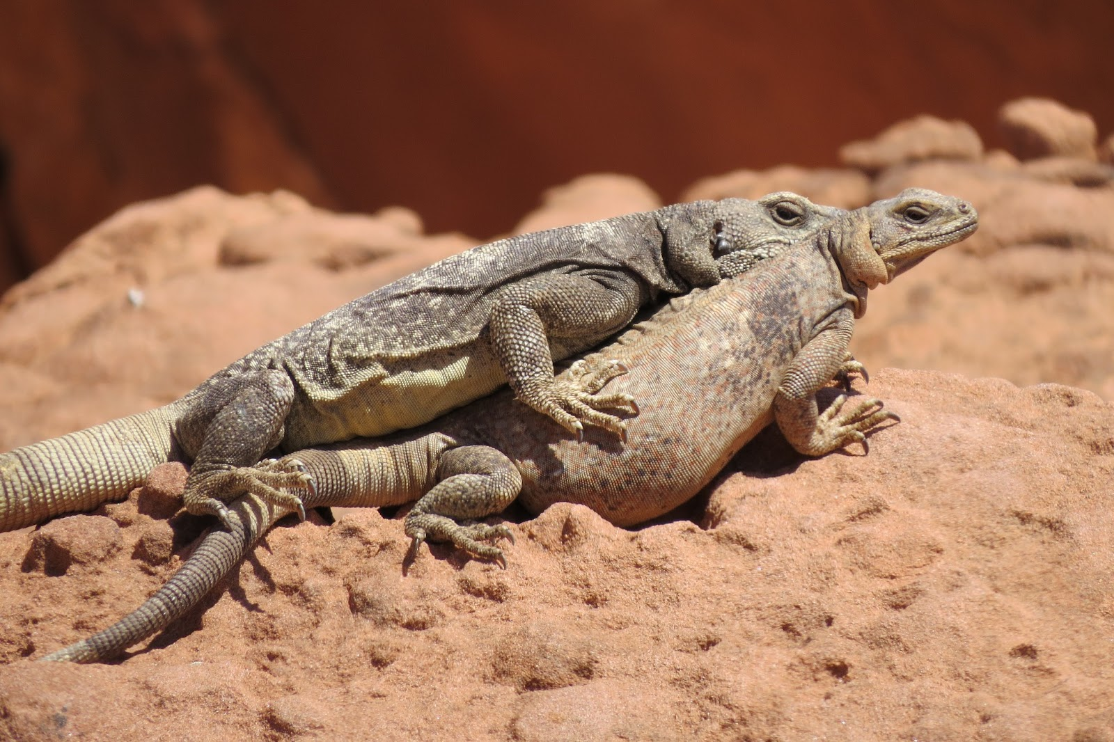 Valley of Fire State Park chuckwallas