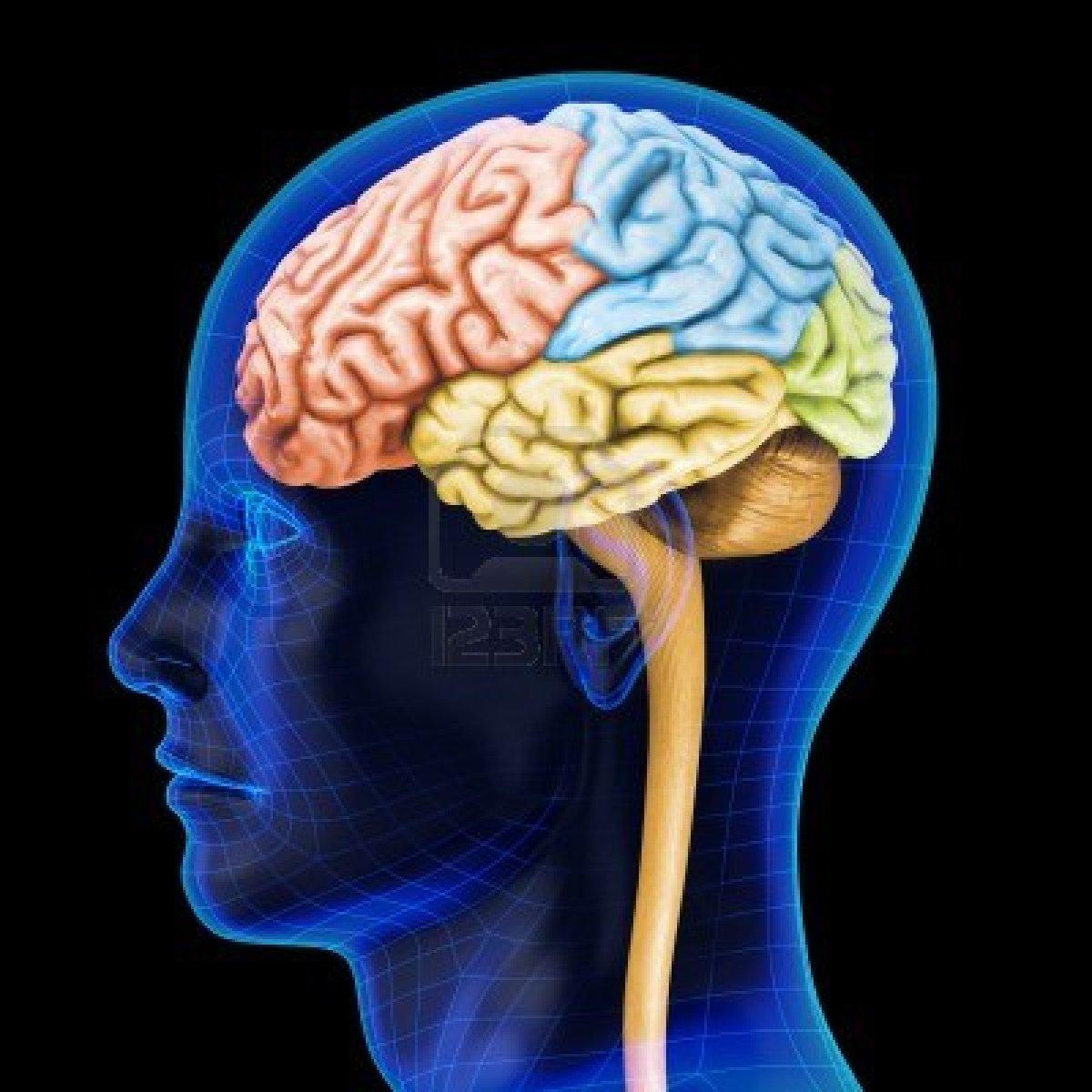 spreekbeurt over hersenen