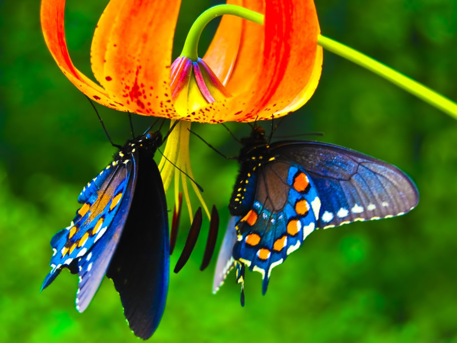 butterfly hd wallpapers