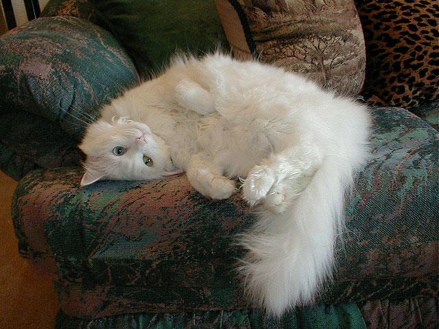 El gato de angora