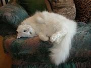 El gato de angora también llamados turcos de angora es una raza de gato .
