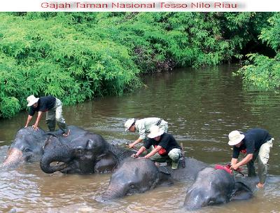 peta gajah taman nasional tesso nilo tntn riau