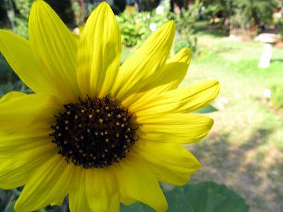 Annieinaustin,sunflower face