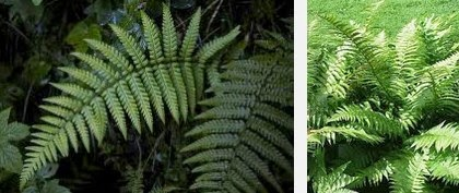 male fern dangerous herbs