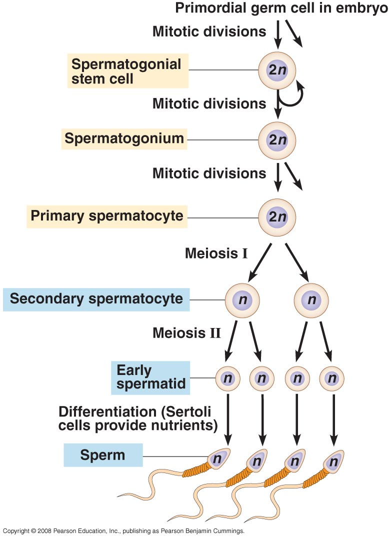 spermatogenesis vs oogenesis Oogenesis vs spermatogenesis - difference between oogenesis and spermatogenesis spermatogenesis vs oogenesis what's the difference.