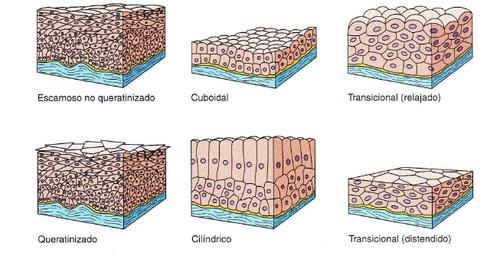 imagen tejido epitelial plano simple: