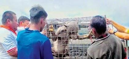 Beruang Gollum dijumpai di Bintangor Sibu dikuarantin