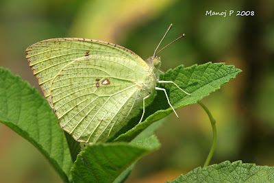 Mottled Emigrant Butterfly