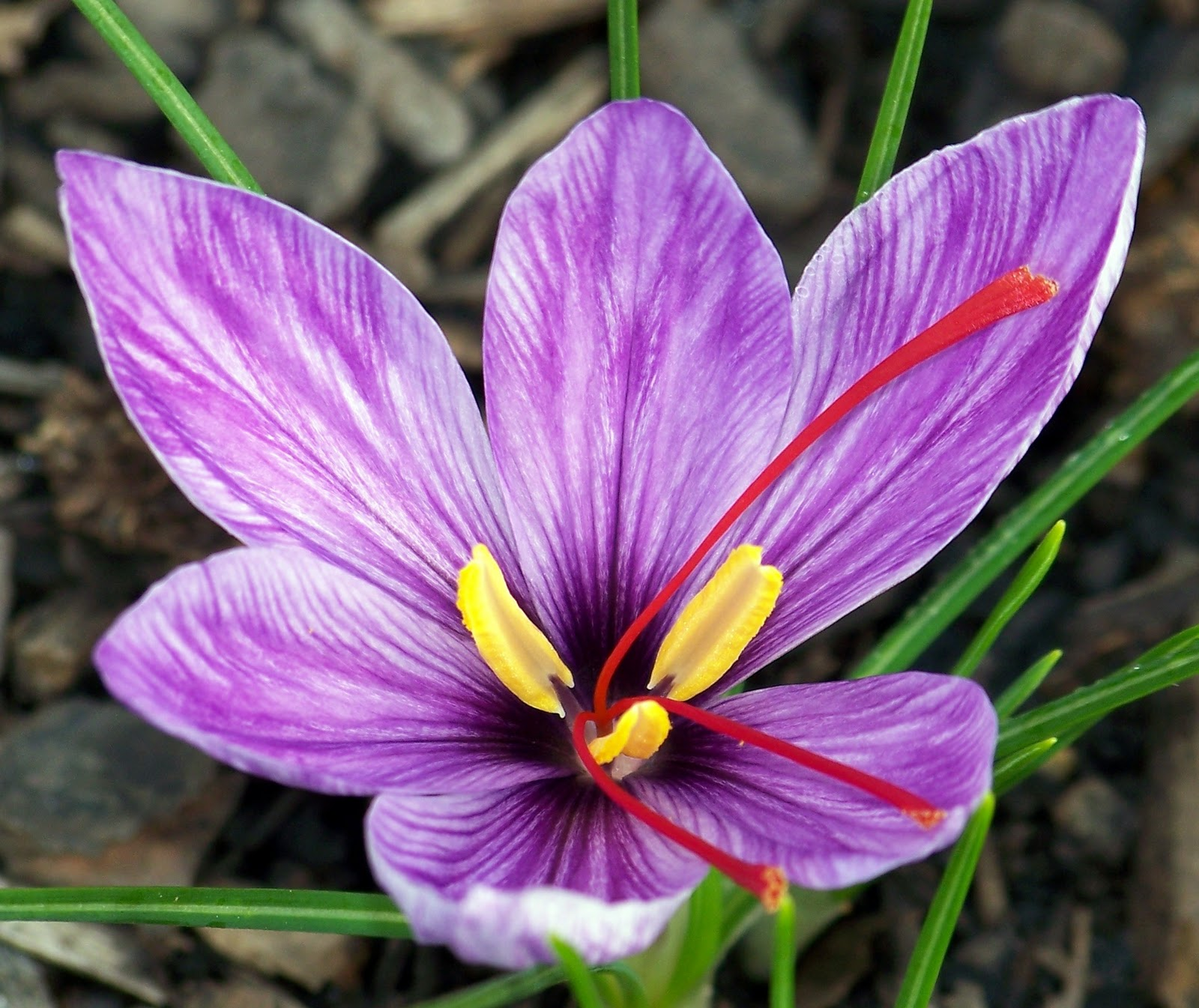 saffron Saffron is the most expensive spice in the world it's derived from the dried stigmas of the saffron crocus and has a deep auburn colour and sweet flavour.