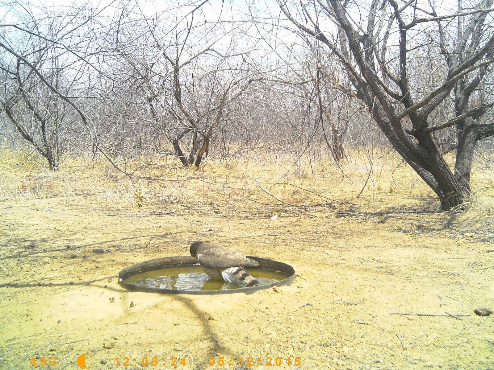 Um gavião tomando banho