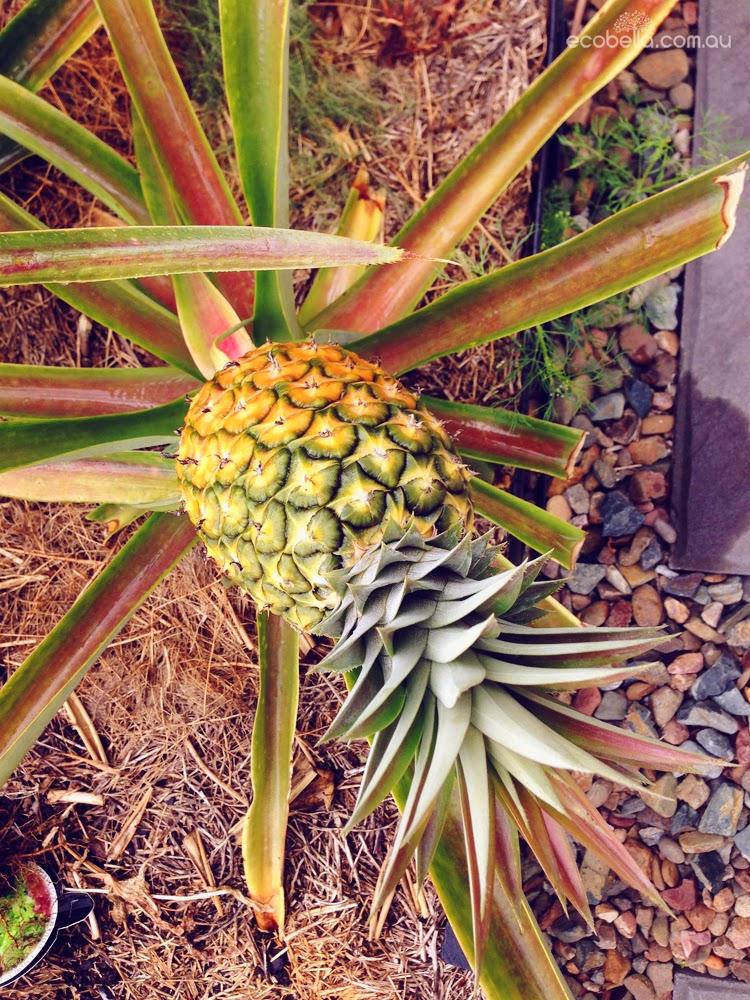 pineapple growing in home vegetable garden