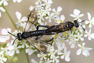 Para ampliar Macrophya montana (Mosca de sierra) hacer clic
