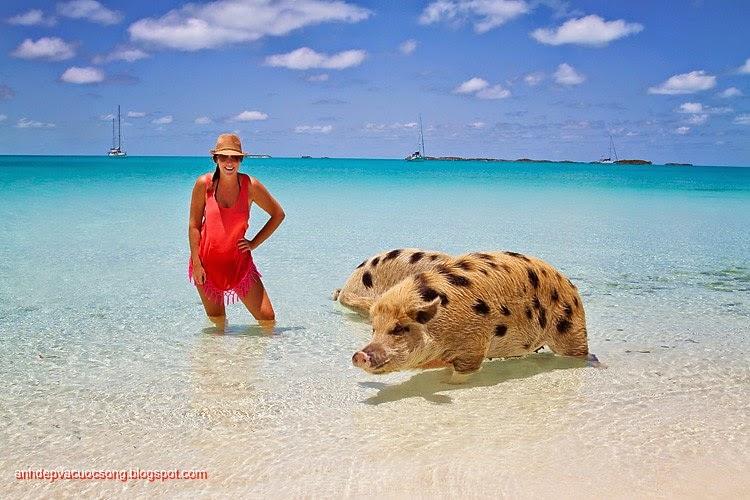 Đảo heo Big Major Spot – Bahamas 6