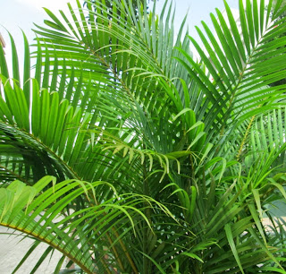 Areca Palm / Butterfly palm / Bamboo Palm