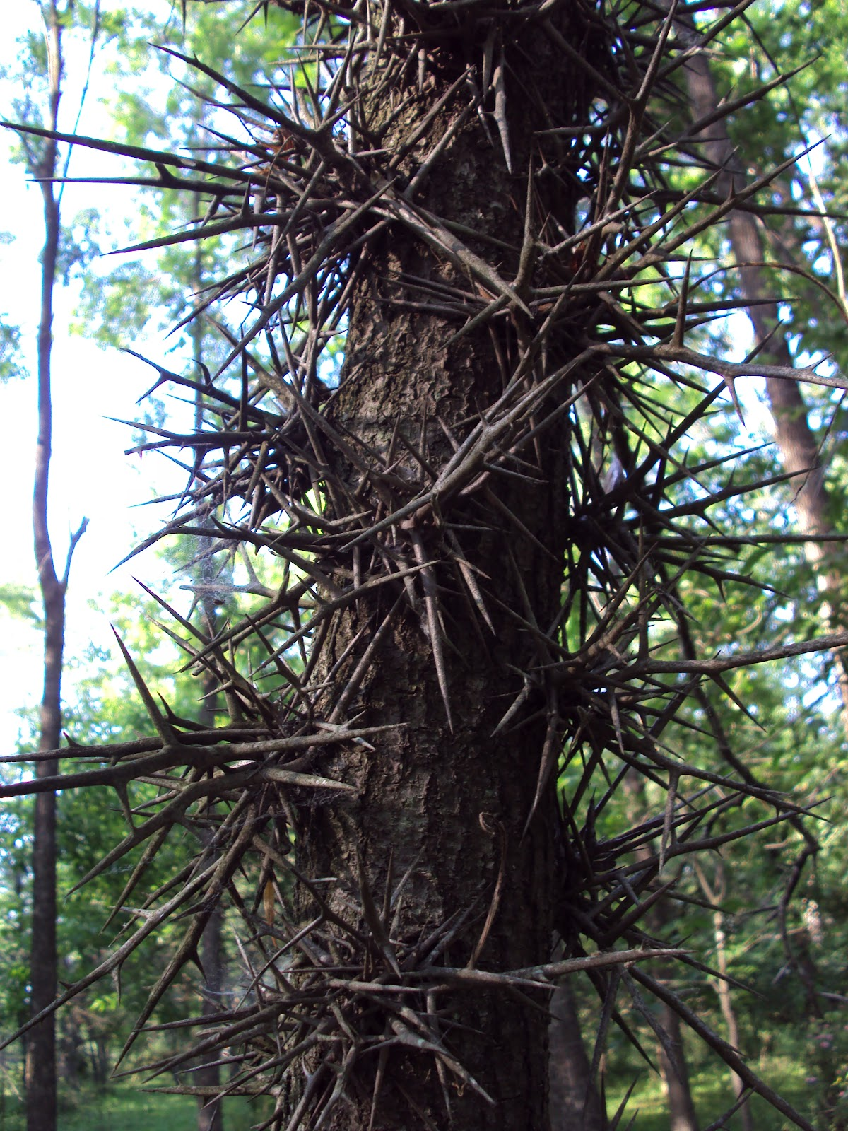 black locust tree thorns wwwpixsharkcom images