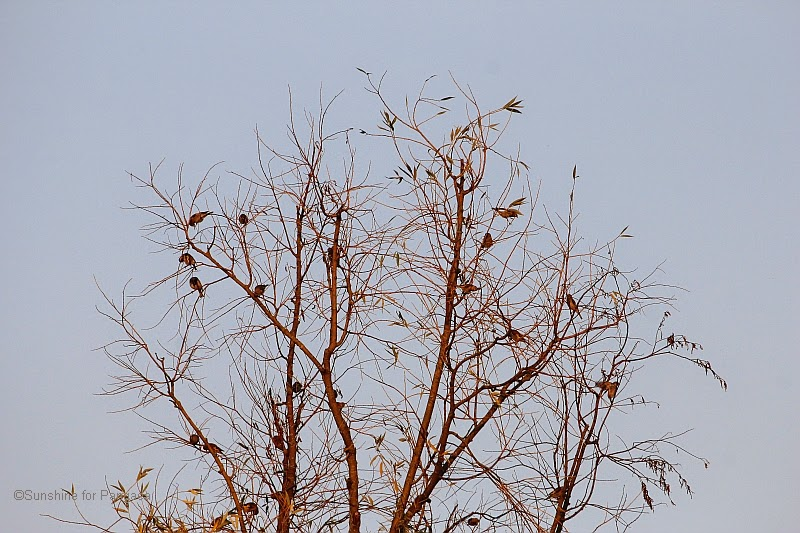 Flock of goldfinches in a tree