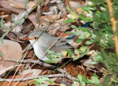 Splendid Fairy-Wren (Malurus splendens)