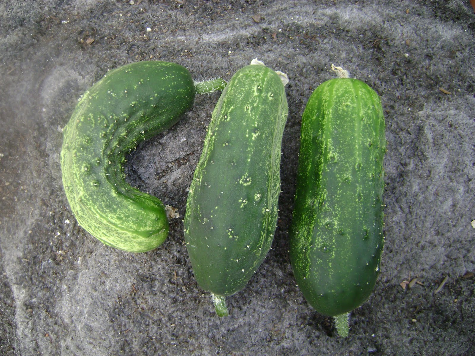 My Travel And Garden Experience Harvesting Cucumbers