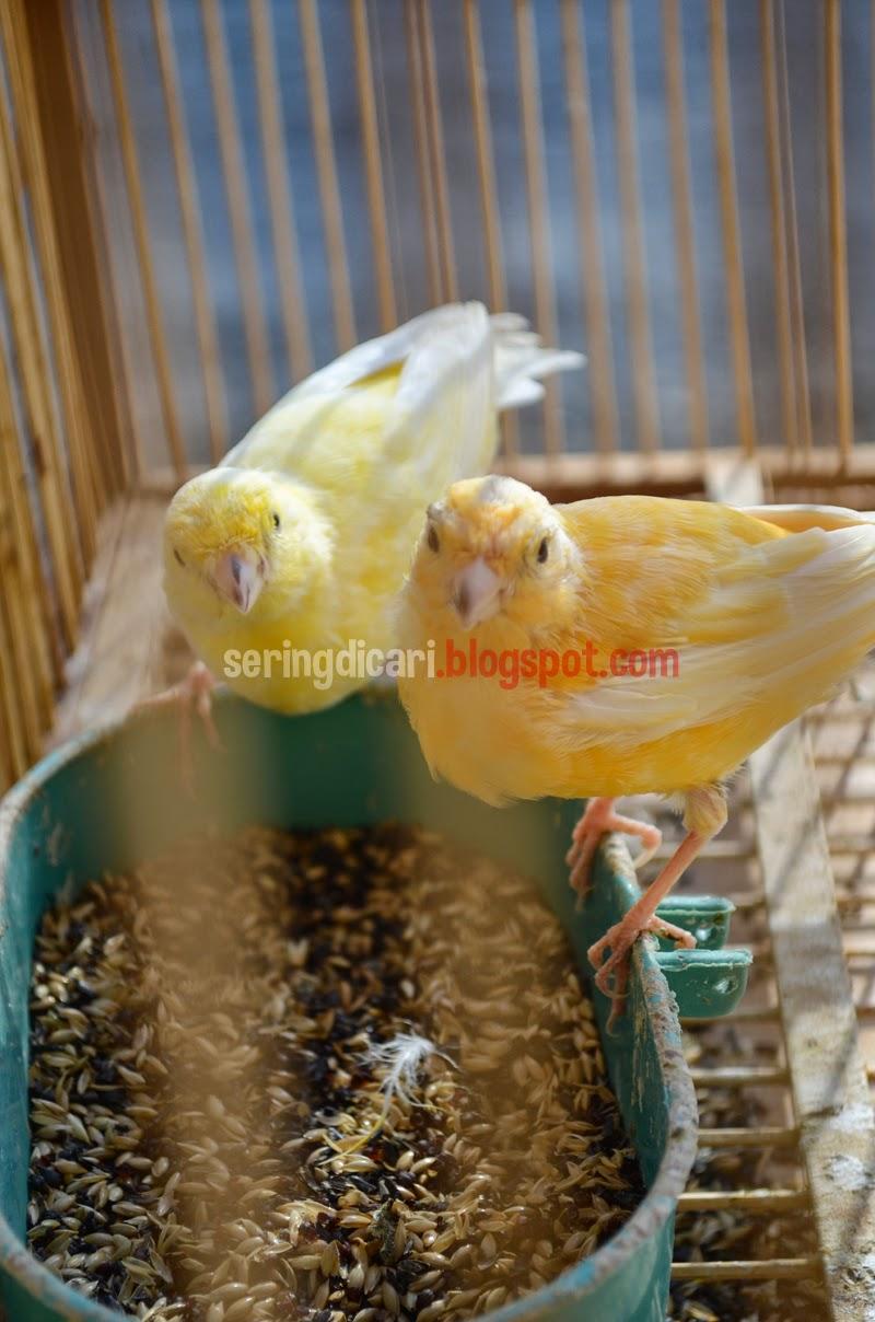 Solusi Peternak Ketika Harga Burung Turun