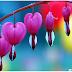 Unik ! Bleeding Heart Bunga Berbentuk Hati