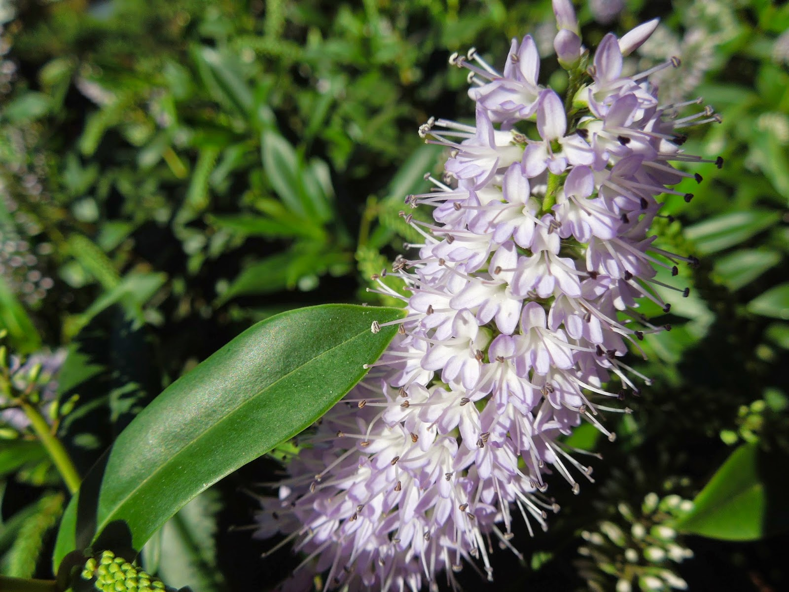 Dos arbustos ornamentales bot nic serrat for Arbustos ornamentales para jardin