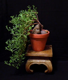 Prince of Orange cascade bonsai