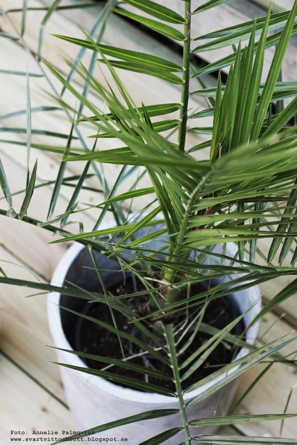 palm, betongkruka, betong, palmer, grön växt på altanen, trädäck, uteplatsen, uteplats,