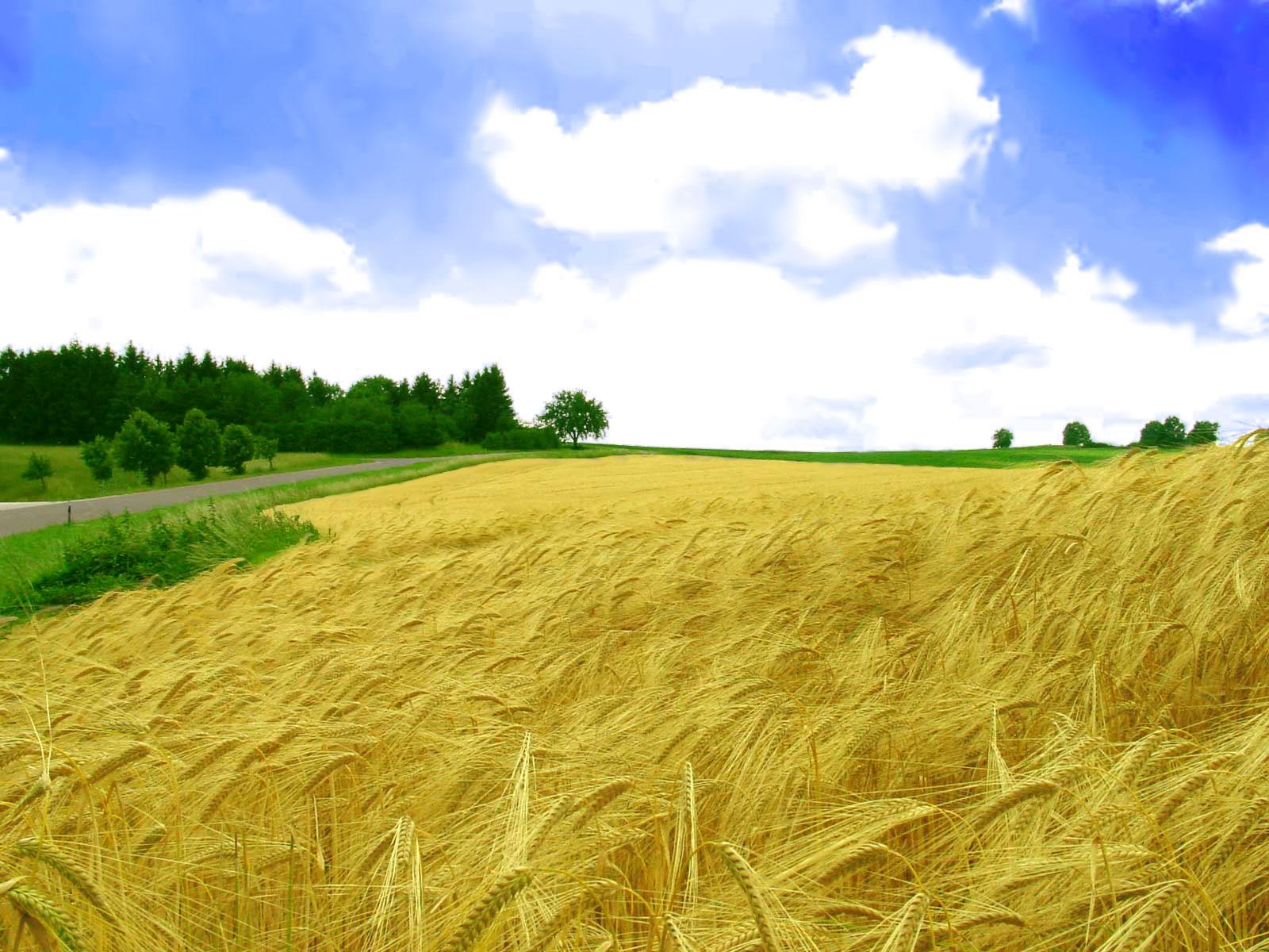 http://2.bp.blogspot.com/-4zUT6qjYGLA/TxT8YK9rL9I/AAAAAAAAAoQ/--SvFECLpCQ/s1600/golden-field_wallpapers_130_1600x1200.jpg