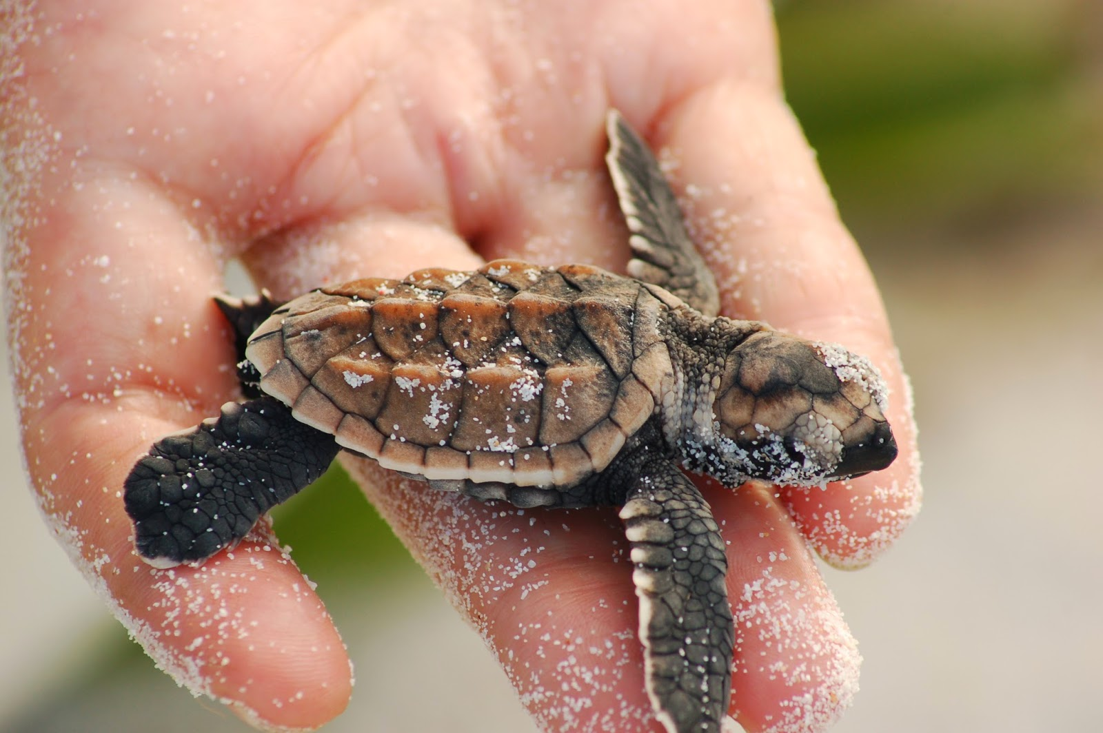 an introduction to the nature and various species of sea turtle Especially critical for the kemp's ridley sea turtle an introduction to texas turtles | 3  4  five species of map turtle are found in texas, limited to eastern .