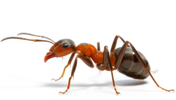 Chinti Ant ke Kaatne ka Upchar