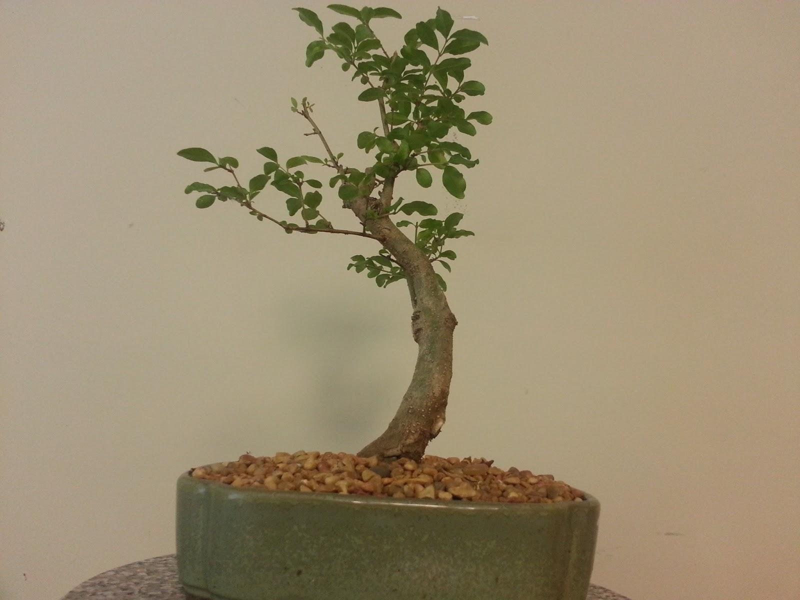 Bodhisattva Bonsai Smaller Informal Style Privet Bonsai A Bit