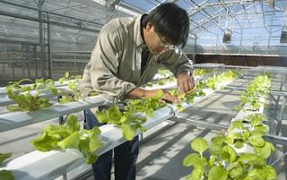 Cara Budidaya Tanaman Sayuran dengan Teknik Hidroponik