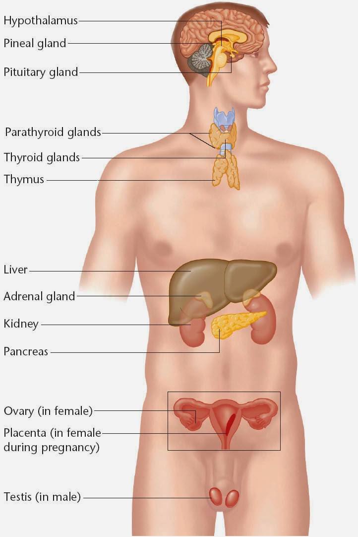 ANATOMY & PHYSIOLOGY 2013-2014: Endocrine System