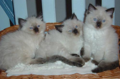 Gatos da raça Ragdoll