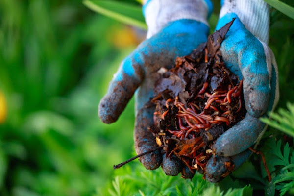 Una plaga de gusanos está atacando las plantaciones de yuca de comunidades productivas de ese rubro en el Cibao