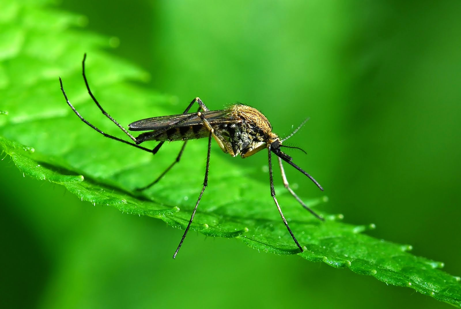 Los Mosquitos: Anatomia